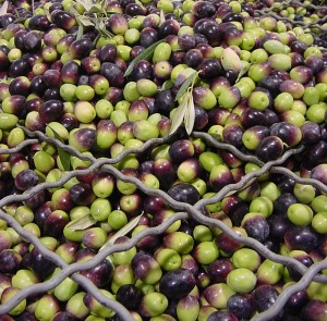 Olives about to be crushed for oil