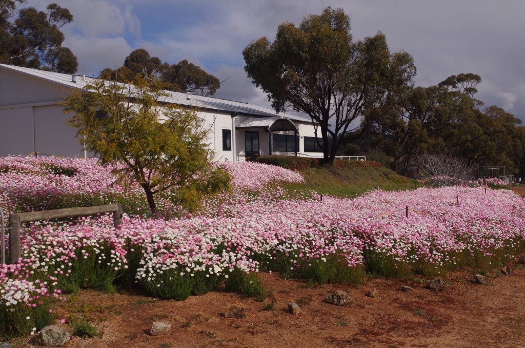 Everlastings in Flower at the York Olive Oil Company