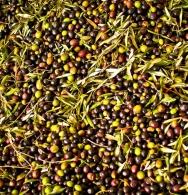 Newly-delivered olives (not yet de-leafed)