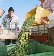 Jock unloading his olives