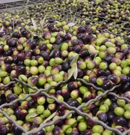 Olives ready for crushing